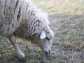 Schafe4(FG)