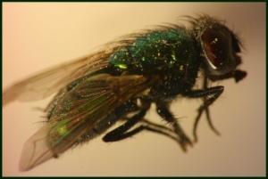 Fliege1(FG)