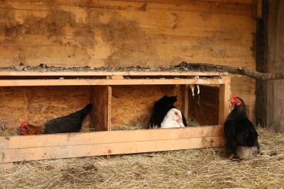 Hühner(FG)